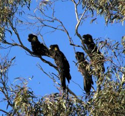Black Cockatoo Yellow tailed David Cook